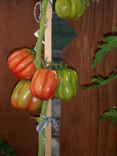 Tomaten San. Marzano
